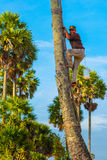 Palmyra palm juice collector Royalty Free Stock Photography