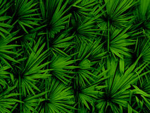 Palmyra palm leaves design. Natural background royalty free stock photo