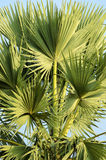 Palmyra palm leaves at the top Royalty Free Stock Photos