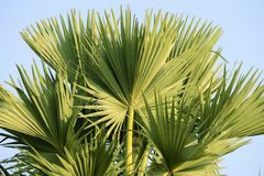Palmyra palm leaves at the top Royalty Free Stock Photo