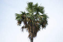Palmyra palm,palm, Sugar palm, or Cambodian palm, tropical tree Royalty Free Stock Photo