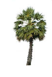 Palmyra palms isolated