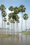 Palmyra palms Stock Photography
