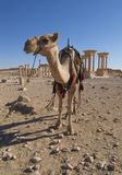 Palmyra Ruins and Camel Stock Images