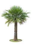Palmyraboom op witte achtergrond Royalty-vrije Stock Foto's