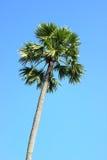 Palmyrapalme, Toddypalme, Arengapalme, kambodschanische Palme Lizenzfreie Stockfotos
