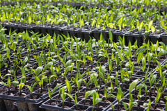 Palmzaad in aanplanting Royalty-vrije Stock Foto's