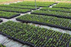 Palmzaad in aanplanting Stock Afbeelding