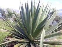 Palnt del cactus Fotografia Stock Libera da Diritti