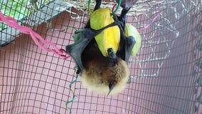 Palo de fruta que come el mango metrajes