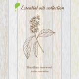 Palo de rosa, etiqueta del aceite esencial, planta aromática Fotografía de archivo