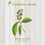 Palo de rosa, etiqueta del aceite esencial, planta aromática Imágenes de archivo libres de regalías