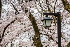 Palo della luce e bello albero del fiore di sakura Fotografie Stock