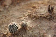 Palo Duro Cactus Imagem de Stock