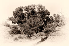 Palo Duro Canyon Tree Fotografia Stock