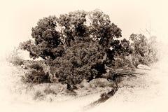 Palo Duro jaru drzewo Zdjęcie Stock