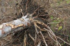 Palo Santo-boom klaar voor het oogsten Royalty-vrije Stock Foto's