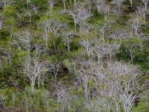 Palo Santo Trees, bâton saint Photos libres de droits