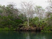 Palo Santo Trees, bastone santo fotografie stock