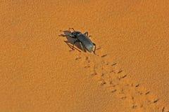 Palo Verde甲虫 库存图片