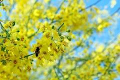 Palo Verde, красивое дерево положения Аризоны стоковые фотографии rf
