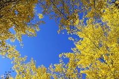 Palo Verde, Arizona state tree Stock Images
