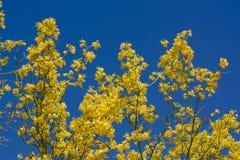 Palo Verde Blooms Fotografie Stock Libere da Diritti