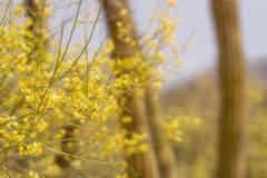 Palo Verde Blooms Stock Photography