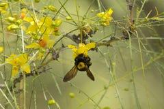 Palo Verde Blossoms Imagen de archivo
