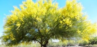 Palo Verde drzewo Obrazy Stock