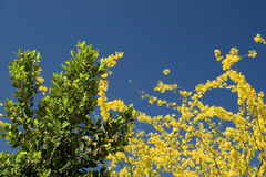 Palo Verde and Ficus. Yellow Palo Verde and Evegreen Ficus Tree on Pristine Spring Blue Sky Royalty Free Stock Photo