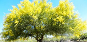 Palo Verde Tree Stockbilder