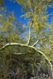 Palo Verde Tree Imagen de archivo libre de regalías