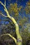 Palo Verde Tree Foto de archivo libre de regalías