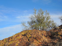 Palo Verde Tree Above la falaise rouge photographie stock