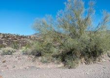 Palo Verde Tree in Arizona stock photos