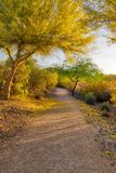 Arizona Palo Verde Tree in Bloom Royalty Free Stock Photography