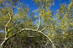 Palo Verde Tree Stock Images