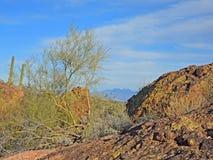 Palo Verde Tree met de Cactussen, de Keien en de Hemel van Saguaro Stock Foto's