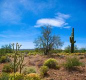 Palo Verde Tree and Saguaro Cactus Springtime stock image