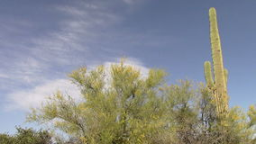 Palo Verde Tree and Saguaro Cactus in the Superstition Mountains, Arizona stock video footage
