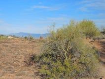 Palo Verde Trees mit Schlamm und Himmel stockbilder