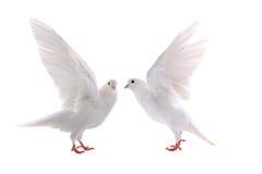 paloma Imagen de archivo libre de regalías