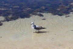 paloma Foto de archivo libre de regalías