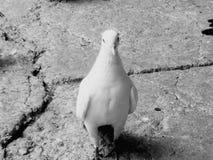 Paloma Fotos de archivo