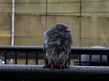 paloma Fotografía de archivo libre de regalías