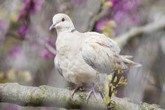 Paloma agarrada eurasiático encaramada en una rama foto de archivo libre de regalías