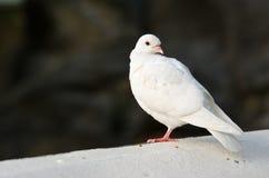 Paloma blanca Foto de archivo libre de regalías