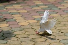 Paloma blanca Foto de archivo