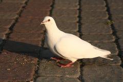 Paloma blanca Fotografía de archivo